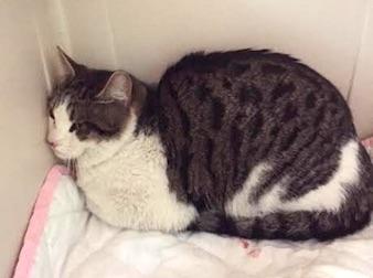 cat found in Ahuntsic