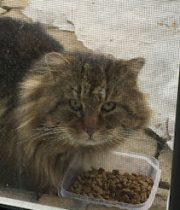 Long-haired tabby found in Blainville