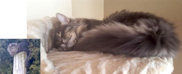 cat lost in Mascouche