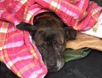 dog found St Colomban