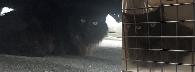 cat found in Chomedey