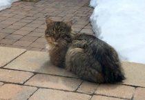 cat found in Deux Montagnes