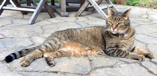 cat lost Ahuntsic