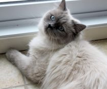 cat lost in Ste-Julie