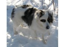 dog lost in Gatineau