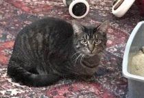 kitten lost McGill