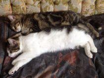 Polo and Tigresse