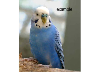 bird found Plateau budgie