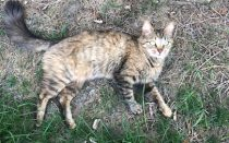 cat found in Repentigny