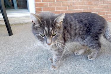 cat found in St Jean sur Richelieu t