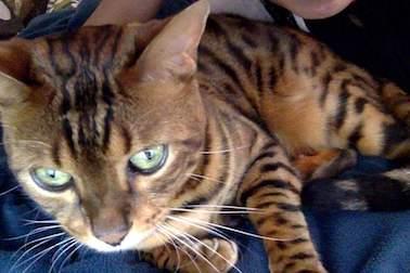 cat lost in Victoriaville