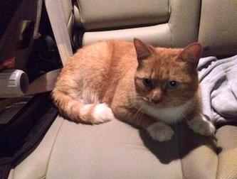 cat lost le Gardeur home