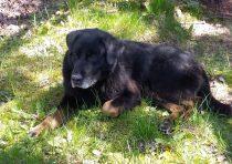 dog found Blainville lab x