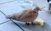 bird found in Chomedey