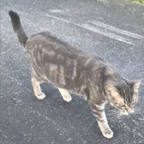 cat found in Lachenaie