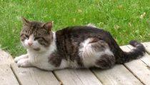 cat found Mont St Hilaire