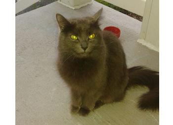 cat found in St-Jean sur Richelieu