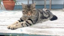cat found in St Placide