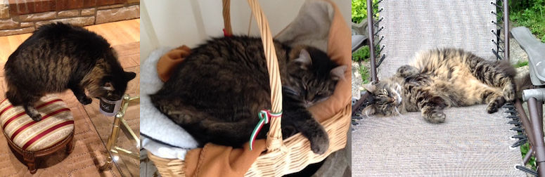 cat lost in Cartierville
