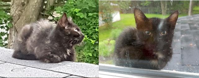 kitten found in Mascouche
