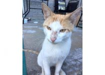 cat found in Laval