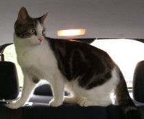 cat found in St Jean sur Richelieu