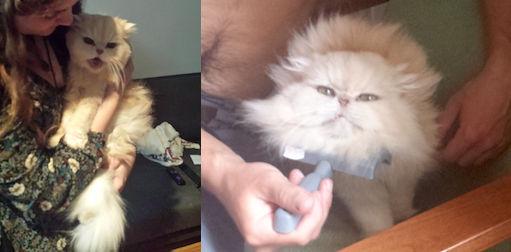 cat lost Mont Royal