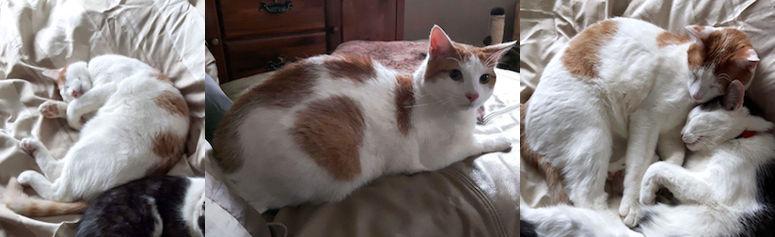 cat lost in St Hubert