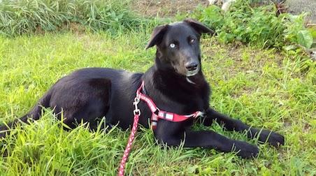 dog lost in Ahuntsic