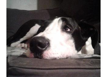 dog lost in Repentigny