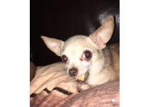 dog lost in Ste-Julie