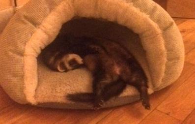 ferret lost in Hochelaga