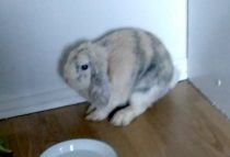 rabbit found in Longueuil