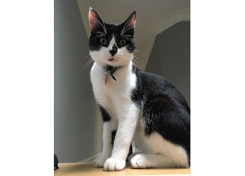 Black and white cat lost near Morin Heights – Petluck.ca