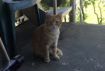 Young orange tabby found in Ahuntsic