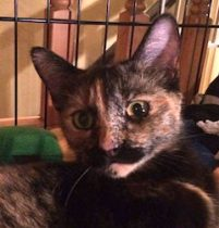 cat found Boisbriand torti