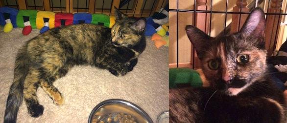 cat found Boisbriand torti