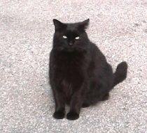 cat found Lachine blk