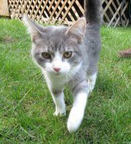 cat found in Vaudreuil-Dorion