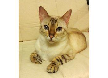 cat lost Ahuntsic bengal