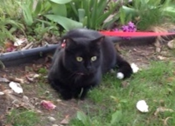 cat lost Lachine blk