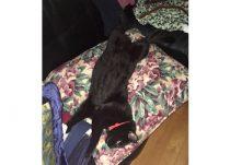 cat lost Longueuil blk