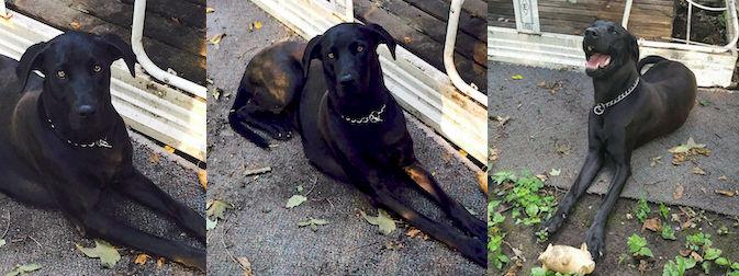 dog found Hinchinbrooke