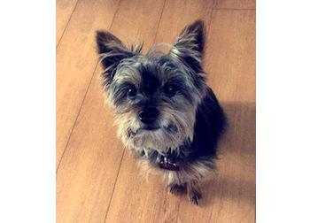 dog lost in Gatineau