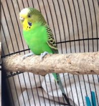 bird found in Little Italy budgie