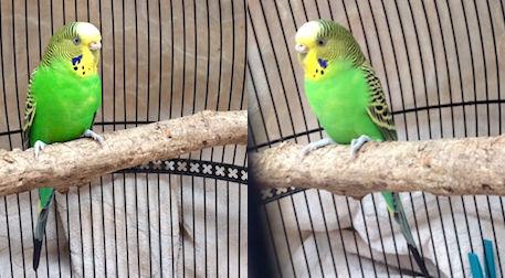 bird found in Little Italy budgie