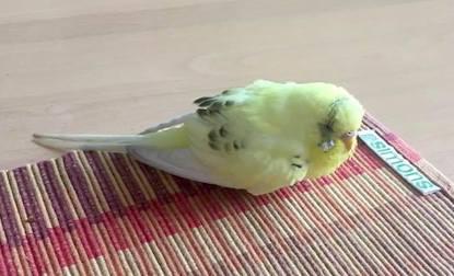 bird found Mercier