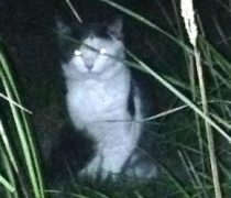cat found in Beloeil