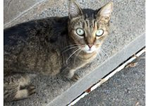 cat found in Dorval
