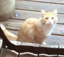 cat found in Ste Rose